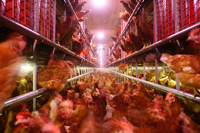 The alternative system for laying hens provides the possibility for hens to move throughout the entire system