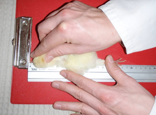 Measuring the length of a chick with a ruler
