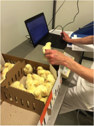 Recording single chick weight at the hatchery