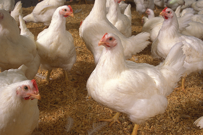 broiler chickens Shop for broiler chickens at stromberg's with four generations of experience selling poultry we have great meat chickens for you.