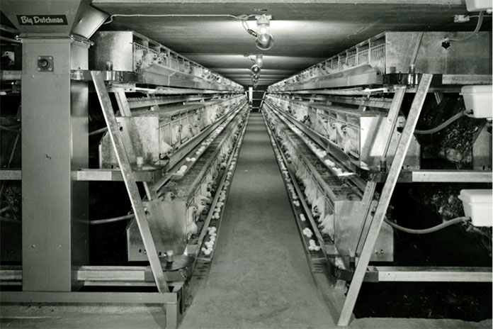 Figure 3 A-frame battery with deep pit manure storage (1960) (Source: WING photo collection)