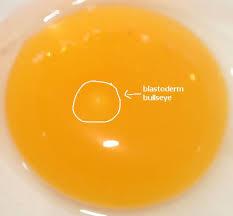 eggs-blastoderm