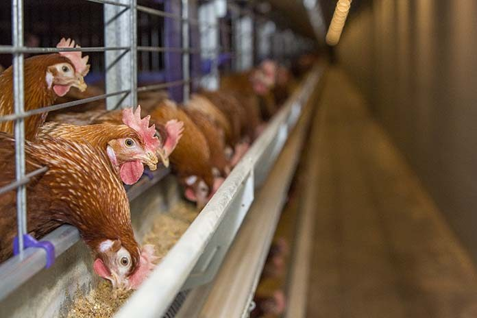 Vitamin D in laying hens: how high is high enough?