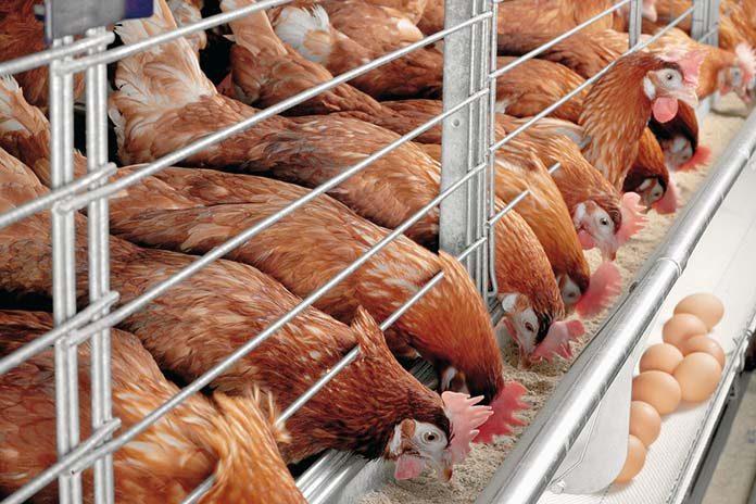 Infectious Laryngotracheitis (ILT) outbreaks in laying hens