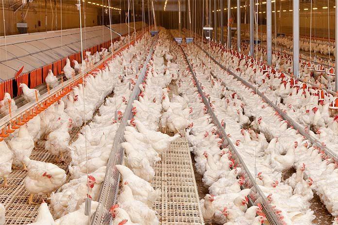Salmonella control in broiler breeders - Zootecnica International