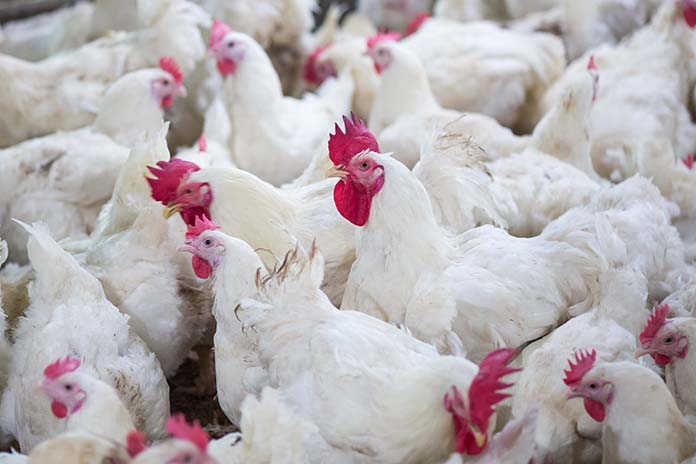 Evaluation of ingredients in poultry diets - Zootecnica International