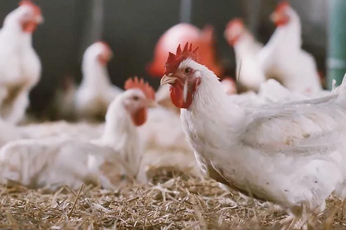 Lameness problems in broilers - Zootecnica International